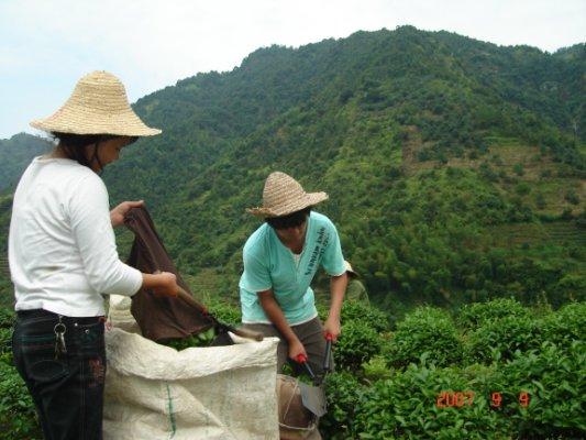 茶摘み女性