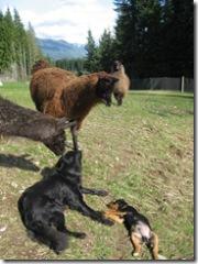 03-31-07 llama and dogs 006